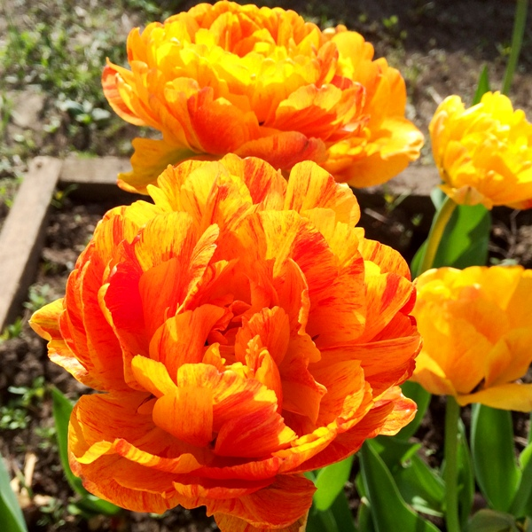 Махровые тюльпаны Double Beauty of Apeldoorn